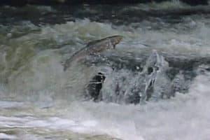 salmon river aire